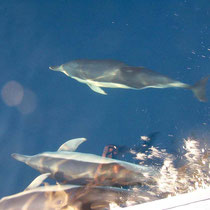 Delfine auf dem Atlantik