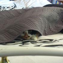 Ebene un chat malheureux sur le lit d'Audrey