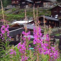 Wilgenroosjes in Zermatt