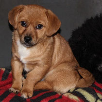 Piri, eine Handvoll Hund, winzige Hündin