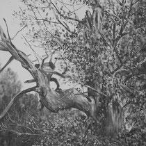 Un arbre, une commune...... ASSON (Pyrénées Atlantiques) Marronnier (environ 450 ans) Graphite et gesso sur toile 2013 100 x 100 cm (détail)