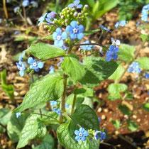 """Brunnera macrophylla """"Jack Frost"""" u cvatu"""