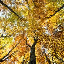 Herbstwald bei Gutenbrunn