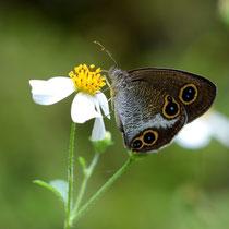 リュウキュウウラナミジャノメの同じく翅表ですが、後翅の眼状紋は3.1個でしょうか?国頭村2011.10.01 D7000
