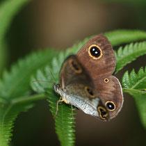 リュウキュウウラナミジャノメの翅表に小さな眼状紋が多いようですね。東村2011.09.30 E-5