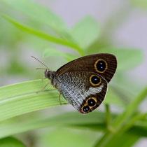 リュウキュウウラナミジャノメの翅裏ですが、後翅の眼状紋は普通3個ですね。国頭村2011.10.01 D7000