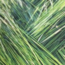 刈った七島藺。深く鮮やかな緑色が美しい。