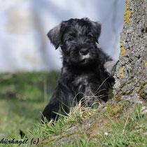 Midnight wird in Oberösterreich zum Rettungshund ausgebildet
