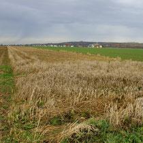 Bei Ernteverzichtsstreifen (hier bei Heimerzheim) bleibt Getreide über den Winter bis Ende Febr. stehen, als Futter für Vögel und Kleinsäuger (Bild: K. Weddeling)