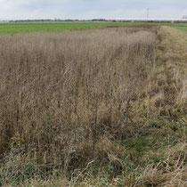 Bei Ernteverzichtsstreifen (hier bei Ollheim) bleibt Getreide über den Winter bis Ende Febr. stehen, als Futter für Vögel und Kleinsäuger (Bild: K. Weddeling)