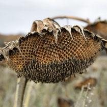 Ansitz inklusive: Die Fruchstände der Sonnenblume sind bei Finken sehr beliebt (Bild: K. Weddeling)