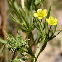 Ranunculus arvensis (Bild K. Weddeling)