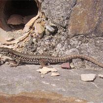 Immer wachsam: männliche Mauereidechse am Versteck (Foto: K. Weddeling)