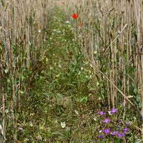 Artenreicher Getreideacker (Bild K. Weddeling)