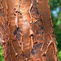 Zimt-Ahorn (Acer griseum)