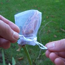 Wer befürchtet, zum Zeitpunkt der Kapselöffnung nicht vor Ort zu sein, kann mit Organzabeuteln den Verlust wertvoller Samen verhindern - iriszucht.de