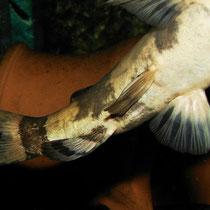 Pseudopimelodus bufonius: Genitalpapille beim Männchen