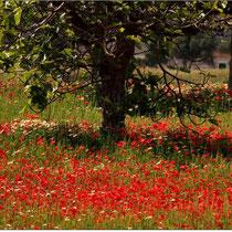 Mohn unterm Feigenbaum (Ostküste Mallorca)