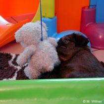 Bär und Schnauzbär