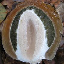 Hexenei der Stinkmorchel (Phallus impudicus) im Schnitt: weiß: Anlage des Pilzstiels; olivgrün: Gleba; braun: Nährgewebe für die Pilzentwicklung.
