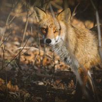 Tierfotografie - Fuchs