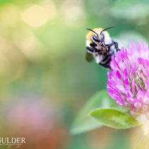 The Busy Bumblebee
