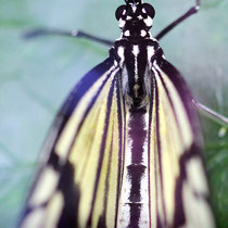 The Blackeyed Butterfly