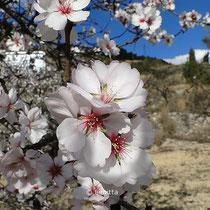 Januar: Mandelblüte in Valencia