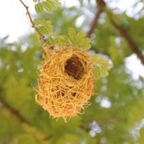Nest des Webervogels