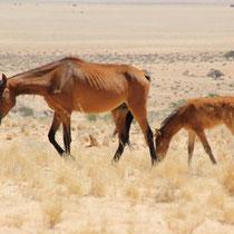 Wilde Pferde direkt vor der Haustür
