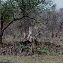 Gepard im Krüger Park