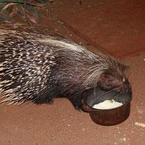 Begegnung in der Nacht mit einem Stachelschwein