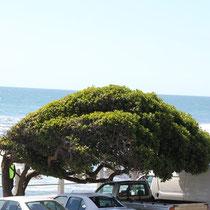 Der Wind blässt so stark vom Meer her, dass die Bäume windschnittig wachsen,