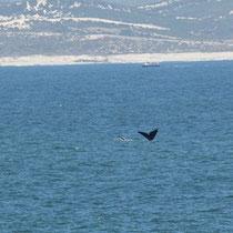 Hermanus das Walfischland. Leider sind wir einen Monat zu spät aber es hat doch noch ein paar Wale, halt sehr weit entfernt.