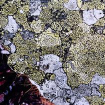 Lichens #1, 2021. Oeuvre originale 60x80cm + tirages numérotés 1-24 + 2 e.a