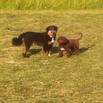 """Ferienhund """"Ewin"""" (rechts) zusammen mit userem """"Dumbo"""" im Heugras."""