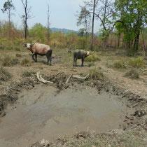 Les buffles sortant de leur bain de boue