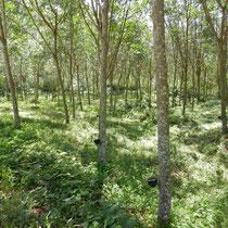 Les plantations d'arbres à cahoutchouc. Ces plantations remplaçant la forêt primaire donnent lieux à des problèmes d'innondations pendant la mousson, leurs racines n'étant pas assez efficaces contre les glissements de terrrain.