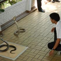 Regardez ces 2 beaux cobras