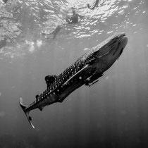 Requin baleine... seulement un bébé de 3m.