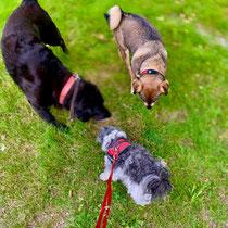 Bleibt man gelassen, kann man auch problemlos mit mehreren Hunden spazieren gehen.