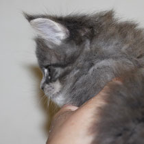Rascoon Bohemia (girl) blue tabbi 5 weeks