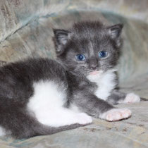 Rascoon Boston (boy) blue white 3 weeks