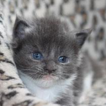 Rascoon Boston (boy) blue white 3 weeks