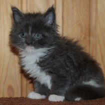 Rascoon Boston (boy) blue white 5 weeks