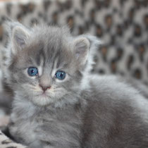 Rascoon Bohemia (girl) blue tabbi 3 weeks