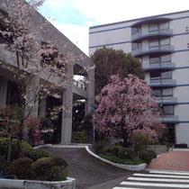 理事長室のある館も美しい桜達が満開です。