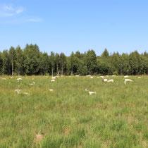 Teile des NSG Südliches Versener Moor werden durch die Beweidung mit Schafen gepflegt