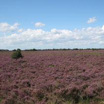Zur Zeit der Heideblüte sind weite Flächen im Bargerveen violett gefärbt