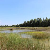 Nach der Wiedervernässung wächst Torfmoos im NSG Südliches Versener Moor